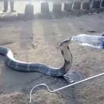 Кобру, которая страдала от жажды, напоили из бутылки